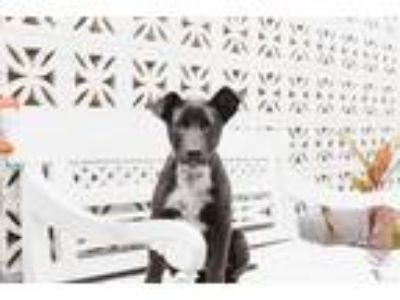 Adopt Joker a Black - with White Cattle Dog / Labrador Retriever / Mixed dog in