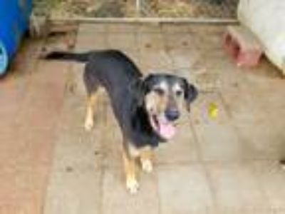 Adopt Spaz a Black - with Tan, Yellow or Fawn Black and Tan Coonhound / Mixed