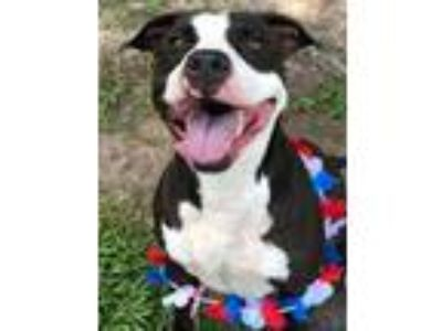Adopt 10319780 AVERY a Pit Bull Terrier