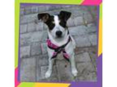 Adopt Nina a Tricolor (Tan/Brown & Black & White) Jack Russell Terrier / Pointer