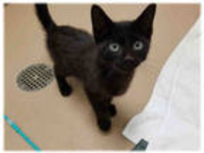 Adopt IVAN a All Black Domestic Shorthair / Mixed (short coat) cat in Plano