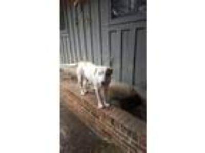Adopt Holly a Labrador Retriever, Hound