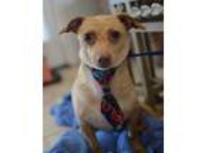 Adopt Georgie a Tan/Yellow/Fawn Dachshund / Rat Terrier / Mixed dog in Santa