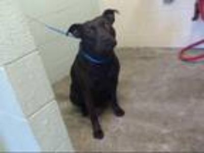 Adopt SMOKEY a Black - with White American Pit Bull Terrier / Mixed dog in