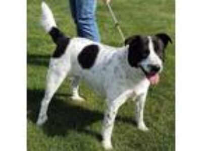 Adopt Jake a Border Collie, Labrador Retriever