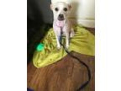 Adopt Sky a Tan/Yellow/Fawn - with White Terrier (Unknown Type