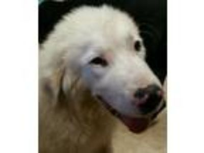Adopt Trey a Great Pyrenees
