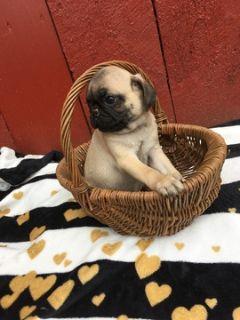 Pug PUPPY FOR SALE ADN-92835 - Pug Puppies