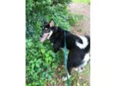 Adopt Duck- Adoption Pending a Shiba Inu / Border Collie / Mixed dog in
