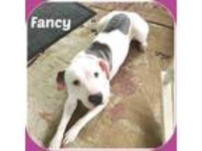 Adopt FANCY a White - with Brown or Chocolate Pit Bull Terrier / Mixed dog in