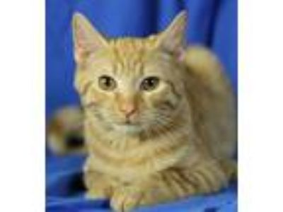 Adopt Boone a Domestic Short Hair