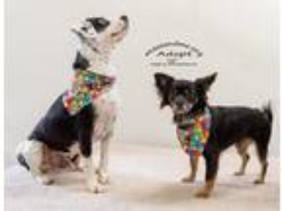 Adopt Moose & Paxton FOSTER NEEDED a Papillon / Basset Hound / Mixed dog in