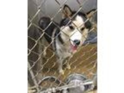 Adopt Cheetos a Siberian Husky, Mixed Breed