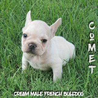 French Bulldog PUPPY FOR SALE ADN-96099 - Akc Cream Blue French Bulldog