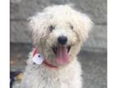 Adopt OLLIE a White Poodle (Miniature) / Mixed dog in Pasadena, CA (25881573)