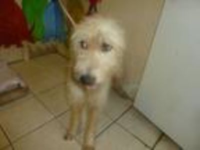 Adopt Arleen a Airedale Terrier, Mixed Breed