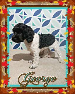 George Male Cockapoo 330-826-1882 675.00 New Price 11-12-18