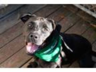 Adopt Quin a Black Labrador Retriever / American Pit Bull Terrier / Mixed dog in