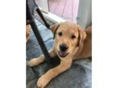 Adopt Maverick a Labrador Retriever