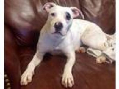 Adopt Lily a American Staffordshire Terrier, Pit Bull Terrier