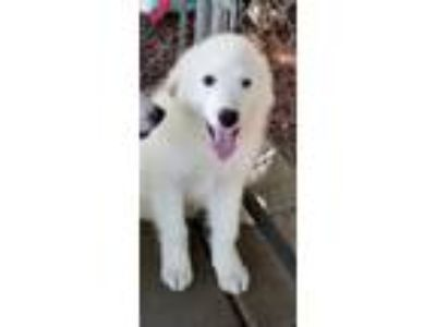 Adopt domino a White Great Pyrenees / Mixed dog in Carson, CA (25645780)