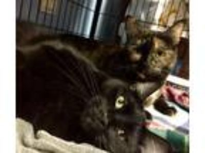 Adopt Meredith & Maryann a Domestic Shorthair / Mixed (short coat) cat in