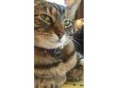 Adopt Poppy a Brown Tabby Domestic Shorthair / Mixed cat in Longmont