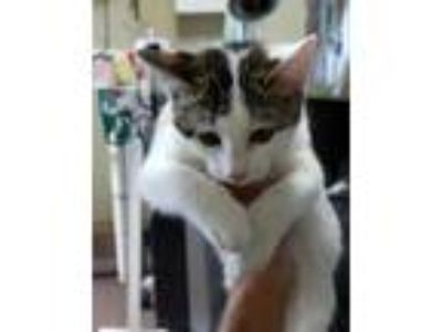 Adopt Hufflepuff a White Domestic Shorthair / Domestic Shorthair / Mixed cat in
