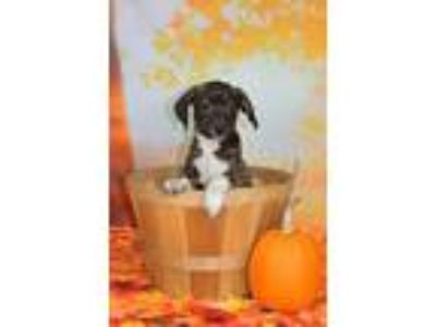 Adopt Cat Woman a Brindle - with White Plott Hound / Beagle / Mixed dog in