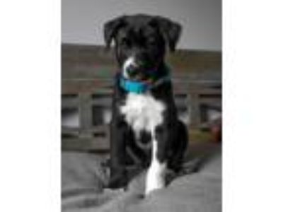 Adopt PUPPY BRAN STARK a Black - with White Husky / Mixed dog in Spring Valley