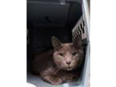 Adopt Fluffy Sunches a Gray or Blue Domestic Shorthair / Domestic Shorthair /