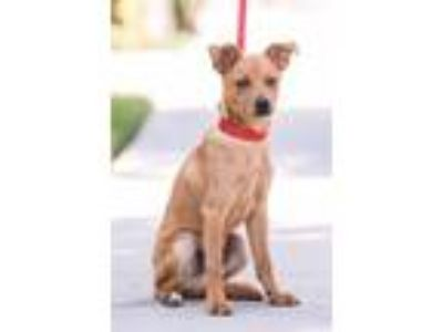 Adopt Citrine a Italian Greyhound / Mixed dog in San Diego, CA (25459013)
