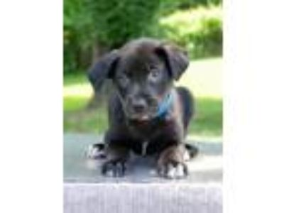 Adopt Rowan a Black - with White Labrador Retriever / Shepherd (Unknown Type) /