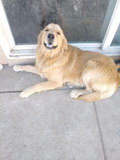 Golden Retriever PUPPY FOR SALE ADN-109225 - Golden Retriever Puppies