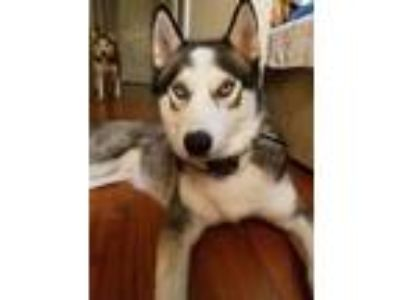 Adopt Aether a Black - with White Siberian Husky / Mixed dog in Winter Springs