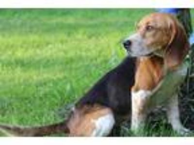 Adopt Shiloh a Tan/Yellow/Fawn - with White Beagle / Mixed dog in Avon