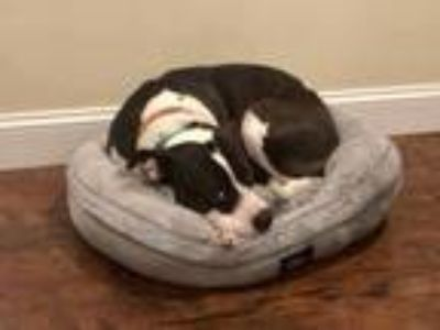 Adopt Myra a Black - with White American Pit Bull Terrier / Mixed dog in