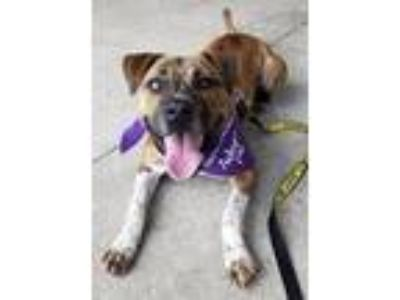 Adopt Adorable River a Brindle Terrier (Unknown Type, Medium) / Mixed dog in