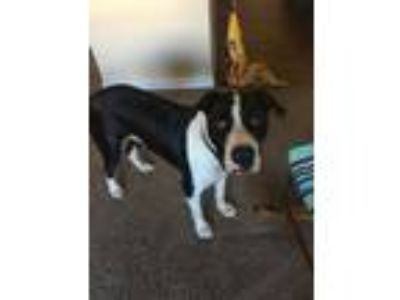 Adopt Georgie a Black - with White American Pit Bull Terrier / Mixed dog in