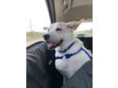 Adopt Ranger a Labrador Retriever, Cattle Dog