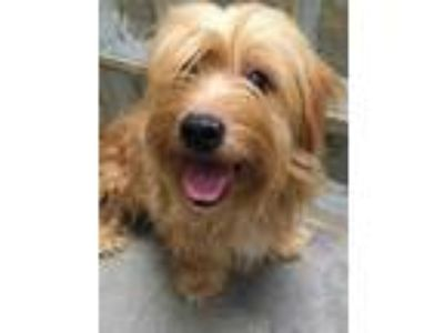 Adopt Ted-o a Brown/Chocolate Cairn Terrier / Mixed dog in Lihue, HI (25782570)