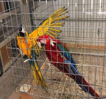 Blue and Gold and Greenwing Macaws/ Breeding Pair