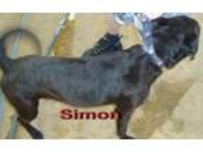 Adopt Simon a Black Labrador Retriever / American Pit Bull Terrier / Mixed dog