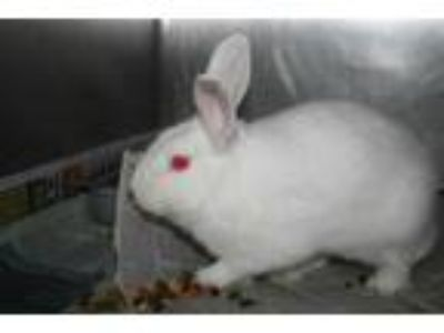 Adopt a White Other/Unknown / Mixed rabbit in Modesto, CA (25446741)