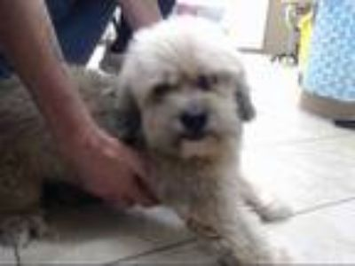 Adopt PELUCHE a Brown/Chocolate Pekingese / Poodle (Miniature) / Mixed dog in