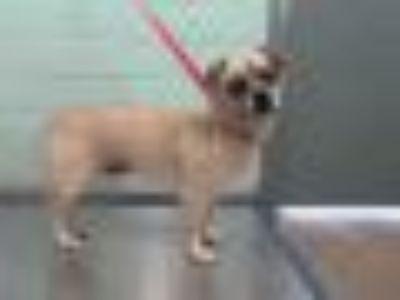 BRAXTON Pug - Mixed Breed Dog