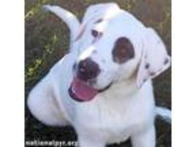 Adopt Miles - pup! a Great Pyrenees, Collie
