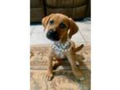 Adopt Tillie a Tan/Yellow/Fawn Shepherd (Unknown Type) / Labrador Retriever /