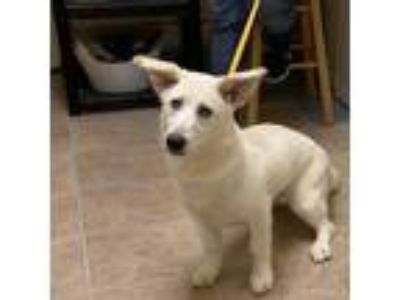 Adopt Noodle a White Labrador Retriever / Mixed dog in Waxahachie, TX (25288454)
