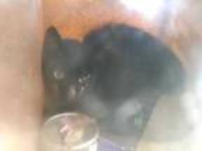 Adopt FERAL 4100 BLOCK HYDE PARK DR a All Black Domestic Shorthair / Domestic
